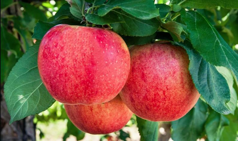 Curiosidades y beneficios que no conocías acerca de la manzana Gala