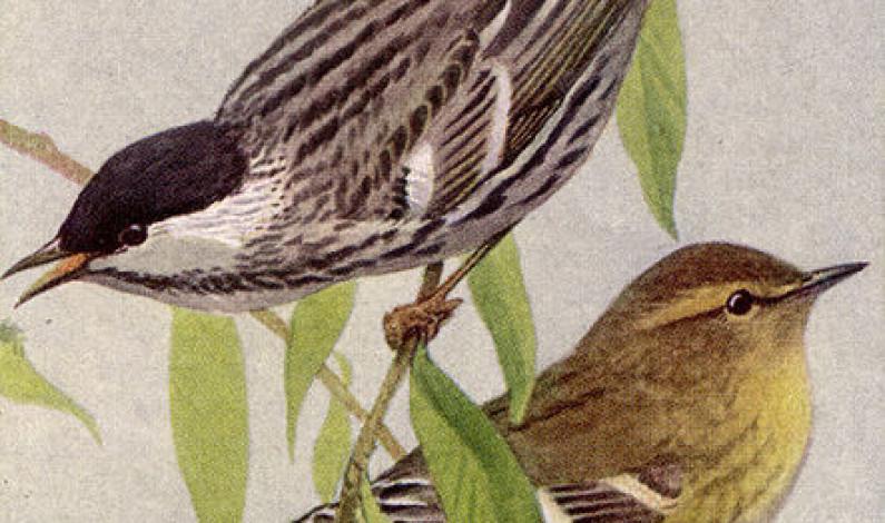 Un ave de solo 17 gramos que recorre 2.770 kilómetros por mar abierto: la reinita estriada
